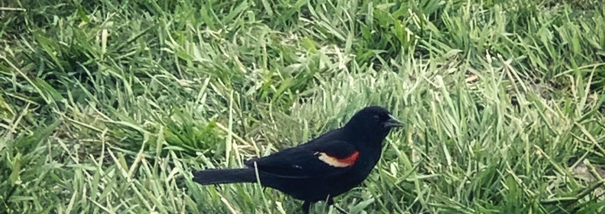 Blackbird with red and yellow wingtips